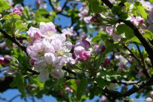 Apfelblüte_1