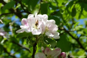 Apfelblüte_Biene_2