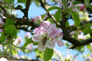 Biene_Apfelblüte