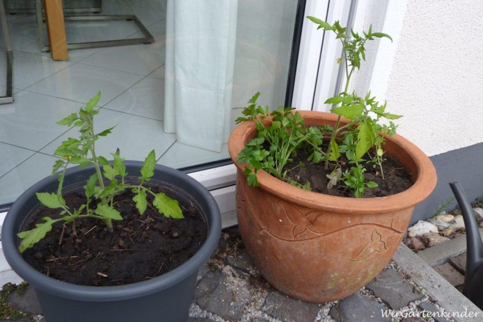tomatenpflanzen pflegen tomaten im garten anpflanzen die. Black Bedroom Furniture Sets. Home Design Ideas