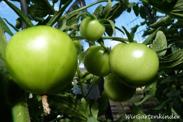 Die Tomaten sehen jetzt super gesund aus. Nur rot müssen sie noch werden!