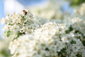 Weißdorn im Mai