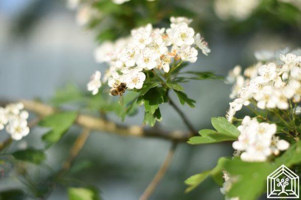 Bienenfreund Weißdorn